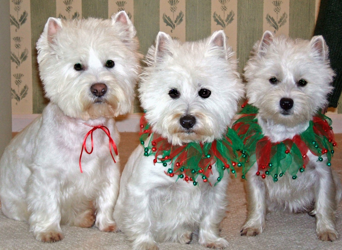 Merry Christmas from Dougal and the girls (Lucy and Idgy)